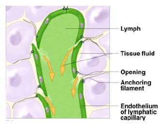 Fig1 likewise The Lymphatic Immune System Part 2 besides BGDB Practical   Upper Gastrointestinal Tract Histology moreover Royalty Free Stock Photo Capillary Bed Lymphoedema Image14089005 likewise Supratrochlear lymph nodes. on lymphatic capillary diagram