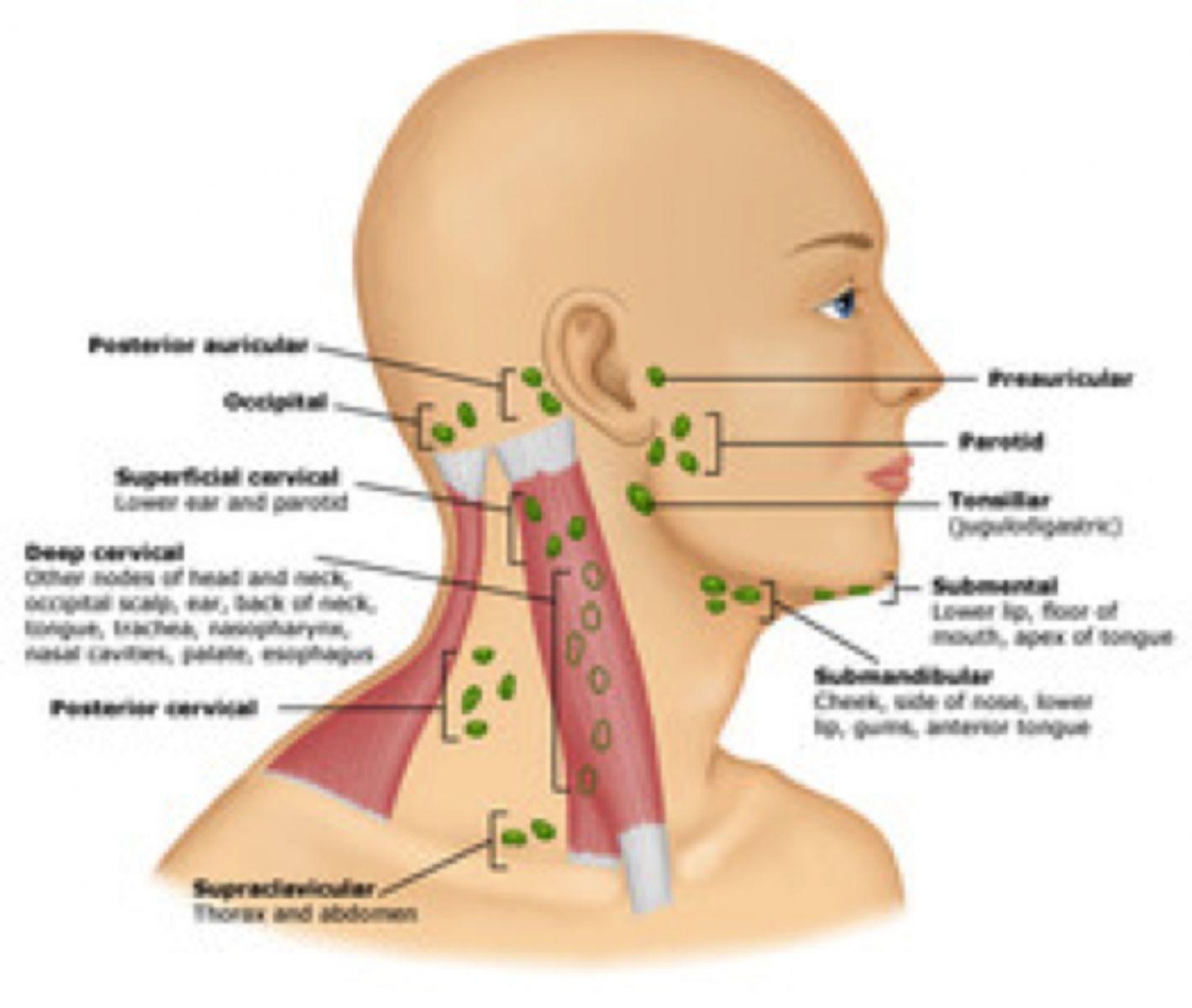 lymph nodes map, gallery: lymph nodes map, human anatomy diagram ...